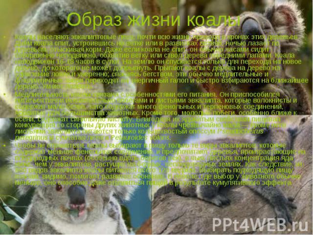 Образ жизни коалы Коалы населяют эвкалиптовые леса, почти всю жизнь проводя в кронах этих деревьев. Днём коала спит, устроившись на ветке или в развилках ветвей; ночью лазает по деревьям, отыскивая корм. Даже если коала не спит, он обычно часами сид…