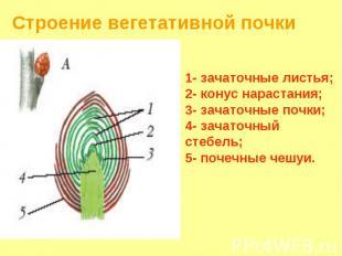 Строение вегетативной почки 1- зачаточные листья; 2- конус нарастания; 3- зачато