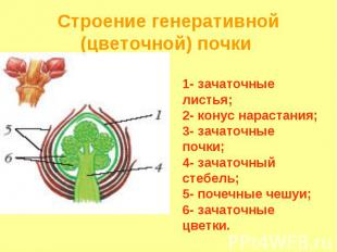 1- зачаточные листья; 2- конус нарастания; 3- зачаточные почки; 4- зачаточный ст