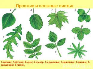 1-сирень; 2-яблоня; 3-клен; 4-клевер; 5-одуванчик; 6-шиповник; 7-малина; 8-земля