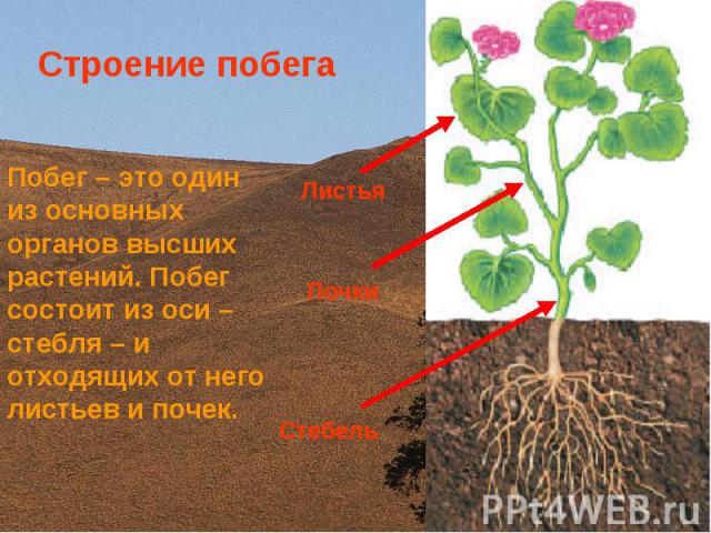 Стебель Почки Листья Строение побега Побег – это один из основных органов высших растений. Побег состоит из оси – стебля – и отходящих от него листьев и почек.