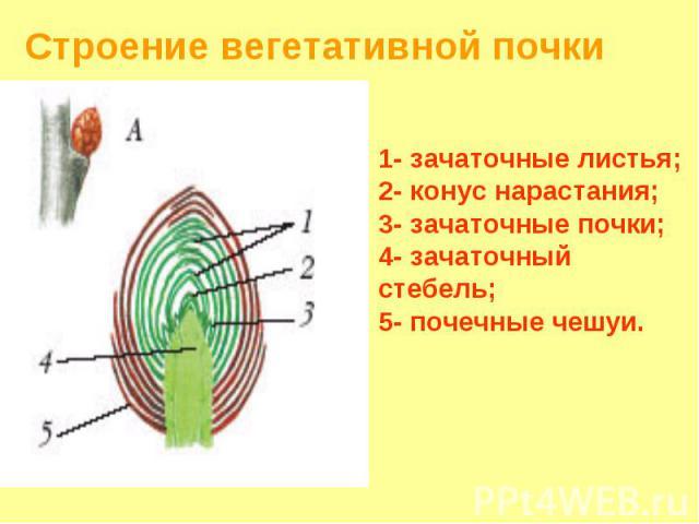 Строение вегетативной почки 1- зачаточные листья; 2- конус нарастания; 3- зачаточные почки; 4- зачаточный стебель; 5- почечные чешуи.