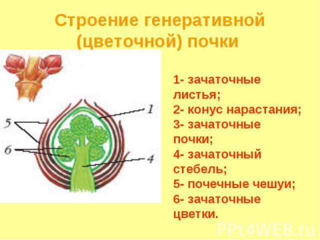 1- зачаточные листья; 2- конус нарастания; 3- зачаточные почки; 4- зачаточный стебель; 5- почечные чешуи; 6- зачаточные цветки. Строение генеративной (цветочной) почки