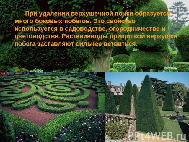 При удалении верхушечной почки образуется много боковых побегов. Это свойство используется в садоводстве, огородничестве и цветоводстве. Растениеводы прищипкой верхушки побега заставляют сильнее ветвиться.