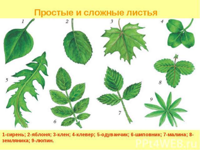 1-сирень; 2-яблоня; 3-клен; 4-клевер; 5-одуванчик; 6-шиповник; 7-малина; 8-земляника; 9-люпин. Простые и сложные листья