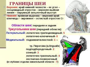ГРАНИЦЫ ШЕИ Верхняя: край нижней челюсти – ее угол – сосцевидный отросток – верх