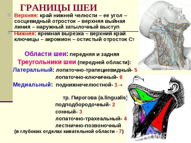 ГРАНИЦЫ ШЕИ Верхняя: край нижней челюсти – ее угол – сосцевидный отросток – верхняя выйная линия – наружный затылочный выступ Нижняя: яремная вырезка – верхний край ключицы – акромион – остистый отросток С7 Области шеи: передняя и задняя Треугольник…