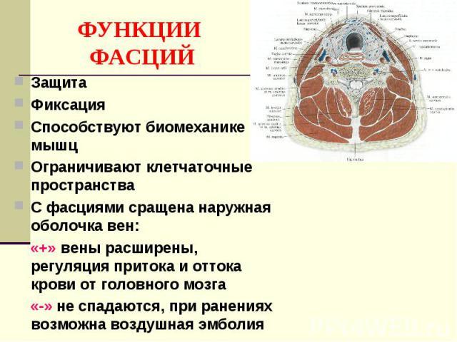 ФУНКЦИИ ФАСЦИЙ Защита Фиксация Способствуют биомеханике мышц Ограничивают клетчаточные пространства С фасциями сращена наружная оболочка вен: «+» вены расширены, регуляция притока и оттока крови от головного мозга «-» не спадаются, при ранениях возм…