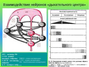 Взаимодействие нейронов «дыхательного центра» + - 1 3 4 2 АРС – активир. РФ 1. Р