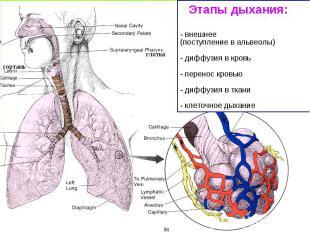 Этапы дыхания: - внешнее (поступление в альвеолы) - диффузия в кровь - перенос к