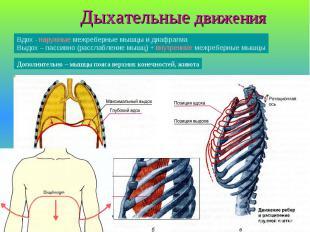 Дыхательные движения Вдох - наружные межреберные мышцы и диафрагма Выдох – пасси