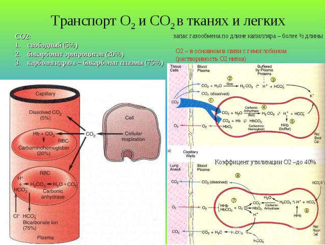 Транспорт О2 и СО2 в тканях и легких СО2: свободный (5%) бикарбонат эритроцитов (20%) карбоангидраза – бикарбонат плазмы (75%) запас газообмена по длине капилляра – более Ѕ длины О2 – в основном в связи с гемоглобином (растворимость О2 низка) Коэффи…