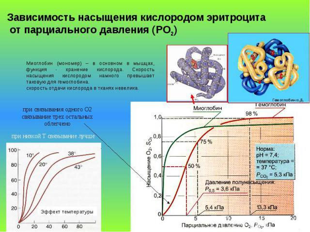 Гемоглобин 22 Зависимость насыщения кислородом эритроцита от парциального давления (PO2) Миоглобин (мономер) – в основном в мышцах, функция - хранение кислорода. Скорость насыщения кислородом намного превышает таковую для гемоглобина. скорость отдач…