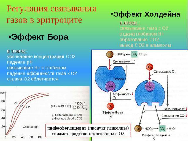 Эффект Бора в тканях: увеличение концентрации СО2 падение рН связывание Н+ с глобином падение аффинности гема к О2 отдача О2 облегчается в легких : связывание гема с О2 отдача глобином Н+ образование СО2 вывод СО2 в альвеолы Эффект Холдейна Регуляци…