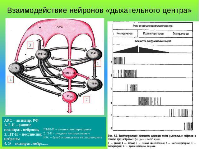 Взаимодействие нейронов «дыхательного центра» + - 1 3 4 2 АРС – активир. РФ 1. Р-И – ранние инспират. нейроны, 3. ПТ-И – постинспир. нейроны 4. Э – экспират. нейроны ПМН-И – полные инспираторные 2. П-И - поздние инспираторные Ибс – бульбоспинальные …