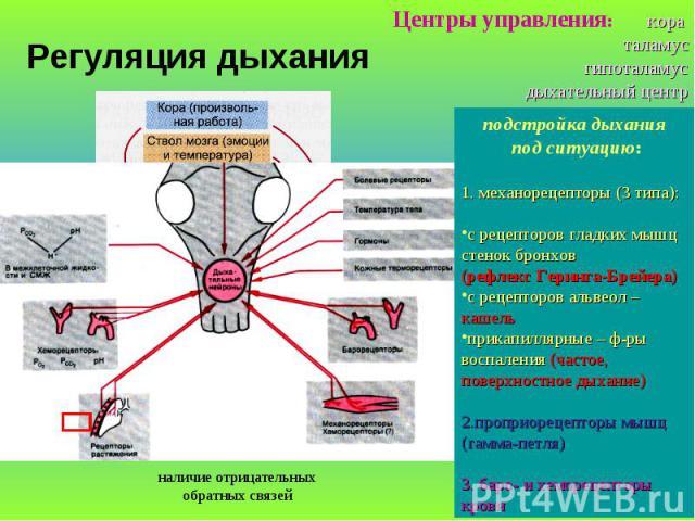 Регуляция дыхания Центры управления: кора таламус гипоталамус дыхательный центр подстройка дыхания под ситуацию: 1. механорецепторы (3 типа): с рецепторов гладких мышц стенок бронхов (рефлекс Геринга-Брейера) с рецепторов альвеол – кашель прикапилля…