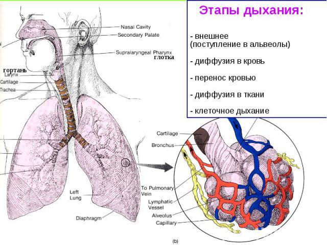 Этапы дыхания: - внешнее (поступление в альвеолы) - диффузия в кровь - перенос кровью - диффузия в ткани - клеточное дыхание гортань глотка