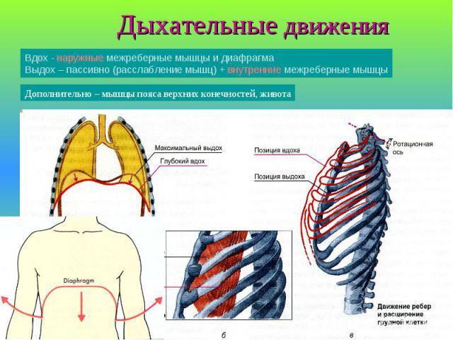 Дыхательные движения Вдох - наружные межреберные мышцы и диафрагма Выдох – пассивно (расслабление мышц) + внутренние межреберные мышцы Дополнительно – мышцы пояса верхних конечностей, живота