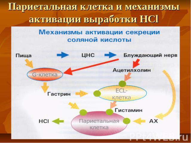 Париетальная клетка и механизмы активации выработки НCl