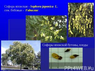 Софора японская - Sophora japonica L. сем. бобовые - Fabaceae * Софоры японской