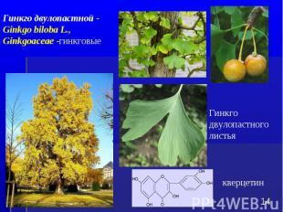Гинкго двулопастного листья * Гинкго двулопастной - Ginkgo biloba L., Ginkgoacea