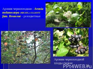 Аронии черноплодной плоды свежие * Арония черноплодная - Aronia melanocarpa (MIC