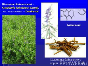 Шлемника байкальского корни * Шлемник байкальский – Scutellaria baicalensis Geor