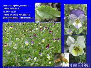 * Фиалка трёхцветная - Viola tricolor L.. ф. полевая – Viola arvensis MURRAY fam