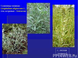 * Сушеница топяная - Gnaphalium uliginosum L., сем. астровые - Asteraceae с. лес