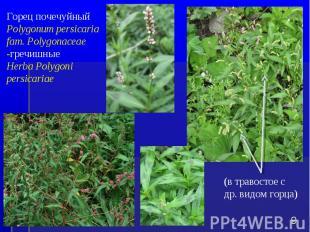 Горец почечуйный Polygonum persicaria fam. Polygonaceae -гречишные Herba Polygon