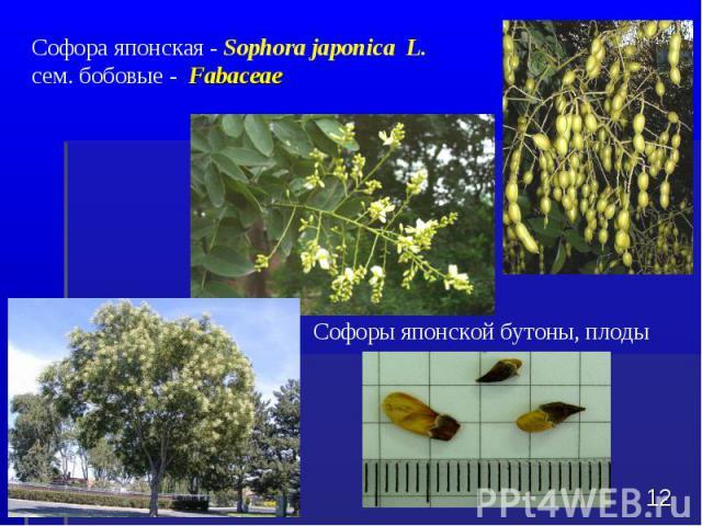 Софора японская - Sophora japonica L. сем. бобовые - Fabaceae * Софоры японской бутоны, плоды