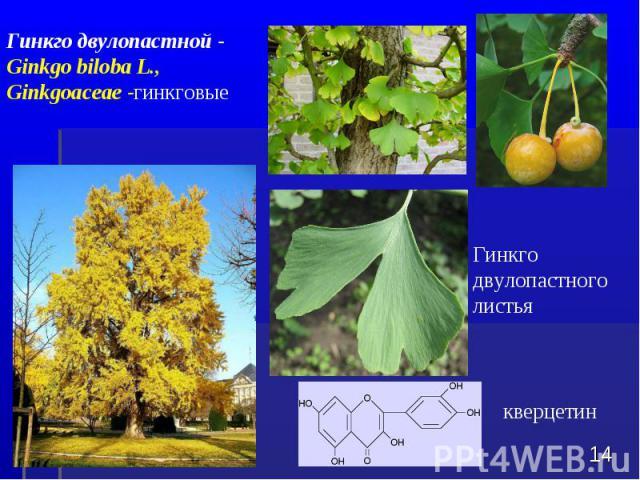 Гинкго двулопастного листья * Гинкго двулопастной - Ginkgo biloba L., Ginkgoaceae -гинкговые кверцетин