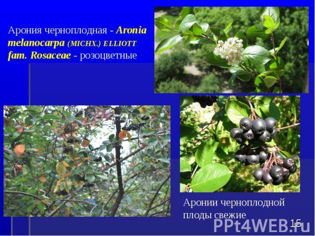 Аронии черноплодной плоды свежие * Арония черноплодная - Aronia melanocarpa (MICHX.) ELLIOTT fam. Rosaceae - розоцветные