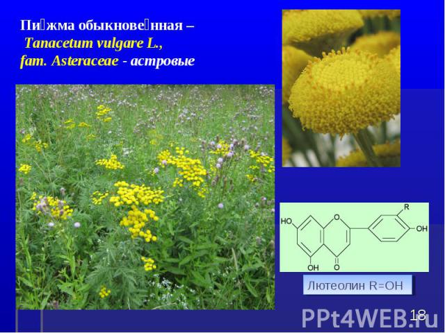 * Пижма обыкновенная – Tanacetum vulgare L., fam. Asteraceae - астровые Лютеолин R=OH