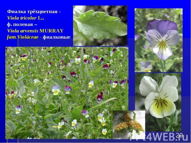 * Фиалка трёхцветная - Viola tricolor L.. ф. полевая – Viola arvensis MURRAY fam.Violбceae - фиалковые
