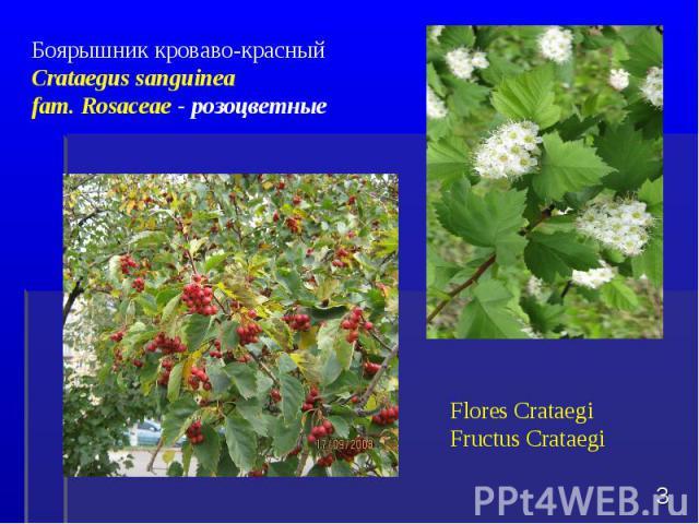 * Боярышник кроваво-красный Crataegus sanguinea fam. Rosaceae - розоцветные Flores CrataegiFructus Crataegi