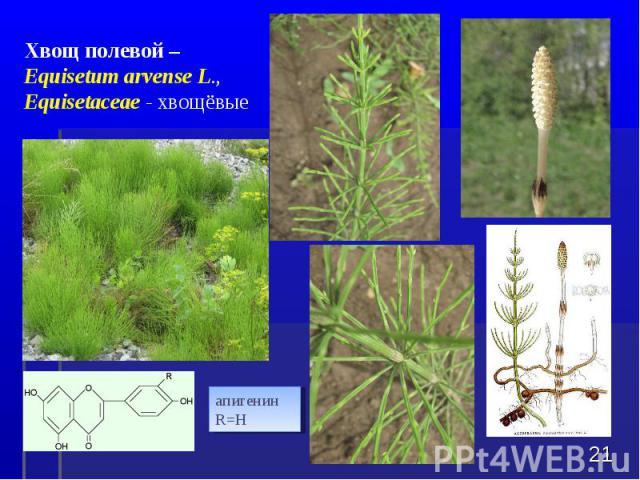 * Хвощ полевой – Equisetum arvense L., Equisetaceae - хвощёвые апигенин R=H