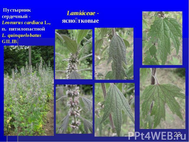 * Пустырник сердечный - Leonurus cardiaca L., п. пятилопастной L. quinquelobatus GILIB. Lamiбceae - яснотковые