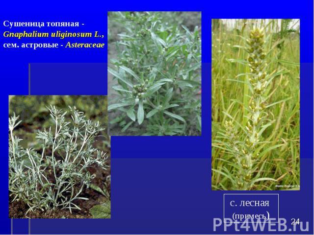 * Сушеница топяная - Gnaphalium uliginosum L., сем. астровые - Asteraceae с. лесная (примесь)
