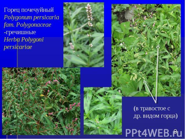 Горец почечуйный Polygonum persicaria fam. Polygonaceae -гречишные Herba Polygoni persicariae * (в травостое с др. видом горца)