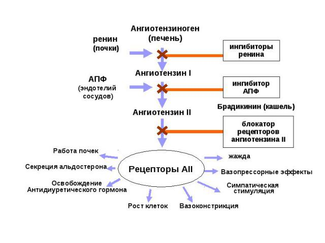 Ангиотензиноген (печень) Ангиотензин I Ангиотензин II Рецепторы АІІ ингибиторы ренина ингибитор АПФ Брадикинин (кашель) блокатор рецепторов ангиотензина II ренин (почки) АПФ (эндотелий сосудов) жажда Симпатическая стимуляция Вазоконстрикция Рост кле…