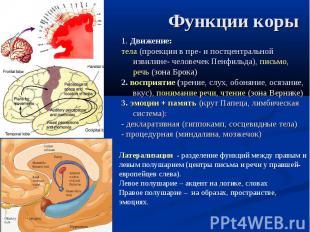 1. Движение: тела (проекции в пре- и постцентральной извилине- человечек Пенфиль