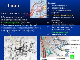Типы глиальных клеток: 1.Астроциты (контакт с капиллярами и нейронами) 2. Олигод