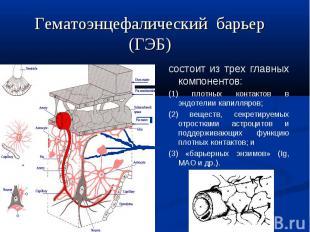 состоит из трех главных компонентов: (1) плотных контактов в эндотелии капилляро