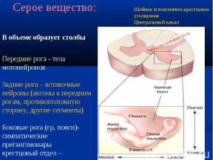 В объеме образует столбы Передние рога - тела мотонейронов Задние рога – вставоч
