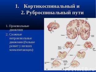Кортикоспинальный и 2. Руброспинальный пути 1. Произвольные движения 2. Сложные