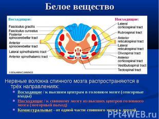 Восходящие: Нисходящие: Белое вещество Нервные волокна спинного мозга распростра