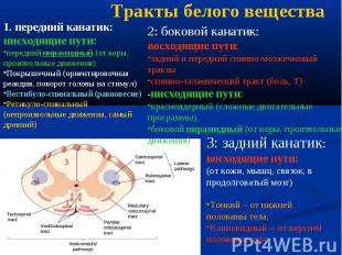 1 2 3 1. передний канатик: нисходящие пути: передний пирамидный (от коры, произв