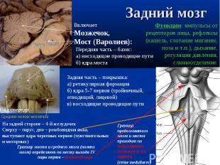 Граница продолговатого мозга и моста проходит по медуллярным полоскам (слух трак