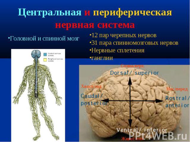 12 пар черепных нервов 31 пара спинномозговых нервов Нервные сплетения ганглии Спина/верх. Хвост/зад Живот/низ Нос/перед Головной и спинной мозг Центральная и периферическая нервная система